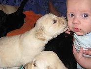 Goldendoodle pup kisses