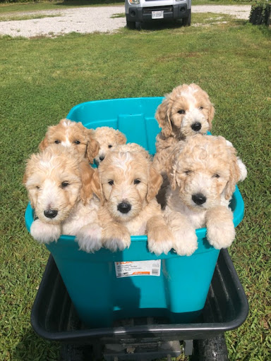 Virginia Beach Goldendoodles