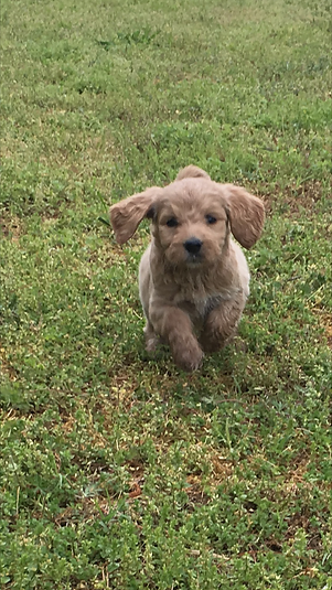 Goldendoodle pup on a rampage