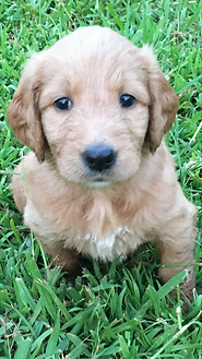 G-doodle pup in the grass