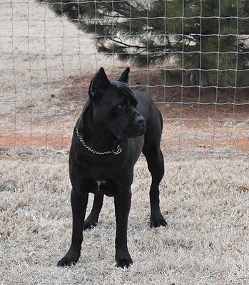 Female Black Cane Corso