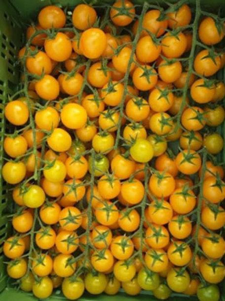 """Plant de Tomate cerise bio """"Starlor"""""""