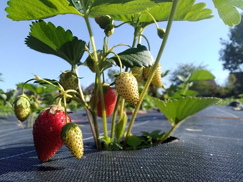 Lot de 6 plants de Fraisier bio en mélange
