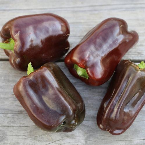 Plant de piment chocolat bio