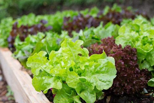 Lot de 6 plants de salades bio en mottes