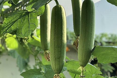 Plant de Luffa bio