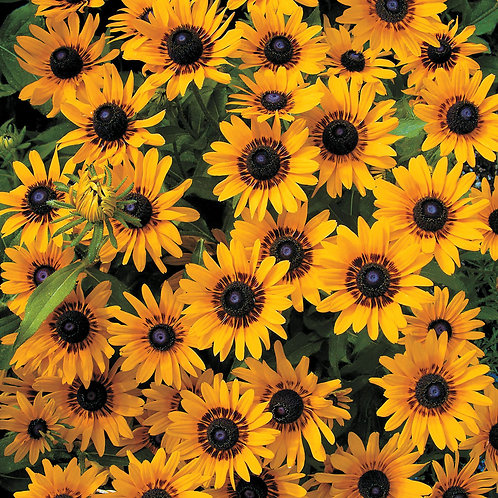 """Plant de Rudbeckia """"Denver Daisy"""" bio"""