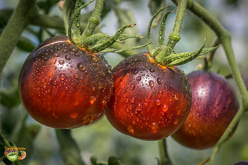 "Plant de Tomate ""Kaleidoscopic Jewel"" bio en godet"
