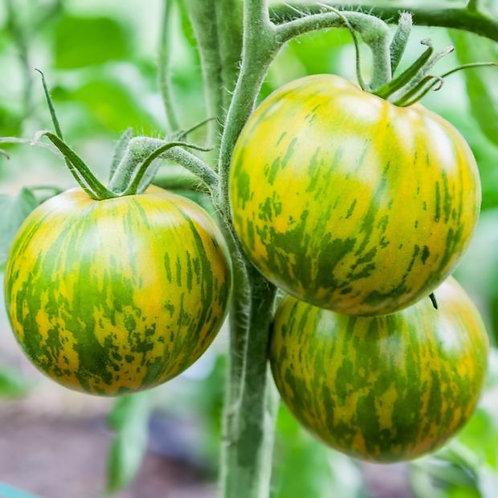 "Plant de Tomate bio ""green zebra"" en godet"