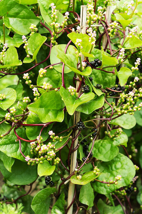 Plant d'Epinard de Malabar bio