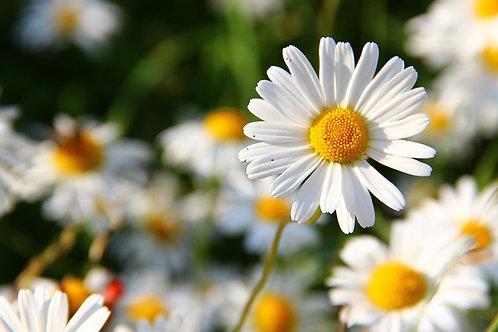 Marguerite blanche en godet