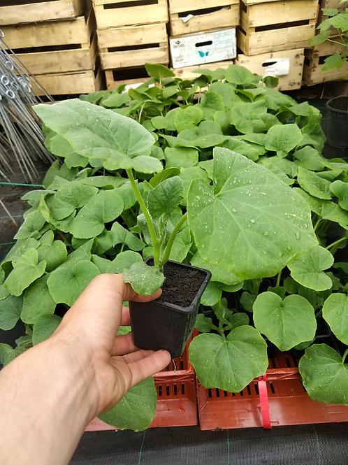 Plant de courge butternut bio en godet