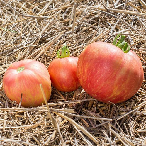 "Plant de Tomate bio ""Pink furry boar"" en godet"