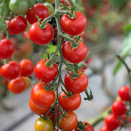 """Plant de Tomate bio """"Miel du mexique"""" en godet"""