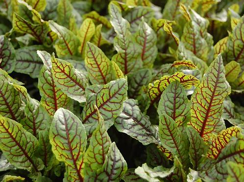 Plant d'oseille sanguine bio