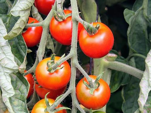 """Plant de Tomate """"Délices des Maraichers"""" bio en godet"""