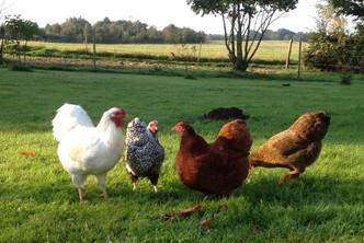 Fritgående høns.jpg