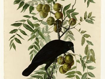 American Crows (Corvus brachyrhynchos)