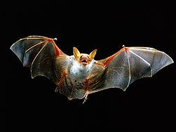 bat_flying-1152x864.jpg