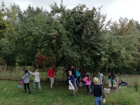 Récolte de pommes par les P3-4.