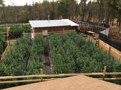 Washington Marijuana