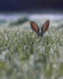 Hase im Gras.jpg