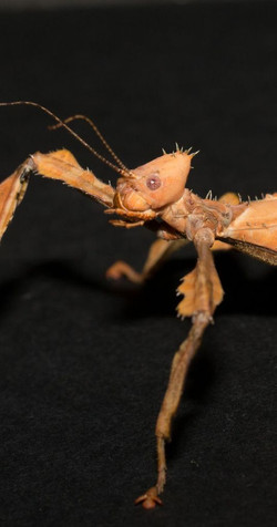 Australian thorny stick insect