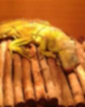 Precious, Tom's Taking Reptiles Green Iguana