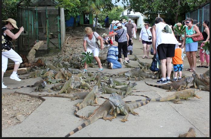 iguanas honduras mahogany bay