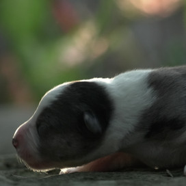 Tux (Male)