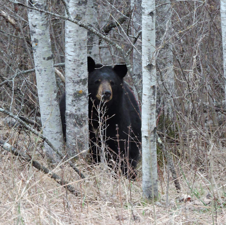 t_2016-04-24-DSCN13350-Zhoda-Black Bear.