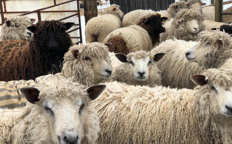 Moutons curieux