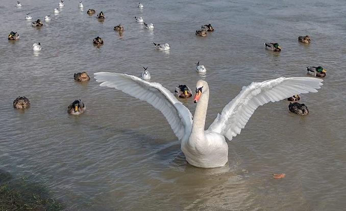 Swan-and-duck-770x470.jpg