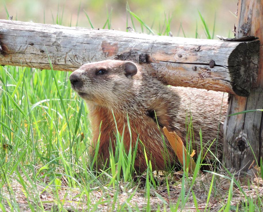 t_2016-05-22-DSCN6967-Zhoda-Groundhog.JP