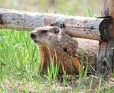 10-t_2016-05-22-DSCN6967-Zhoda-Groundhog