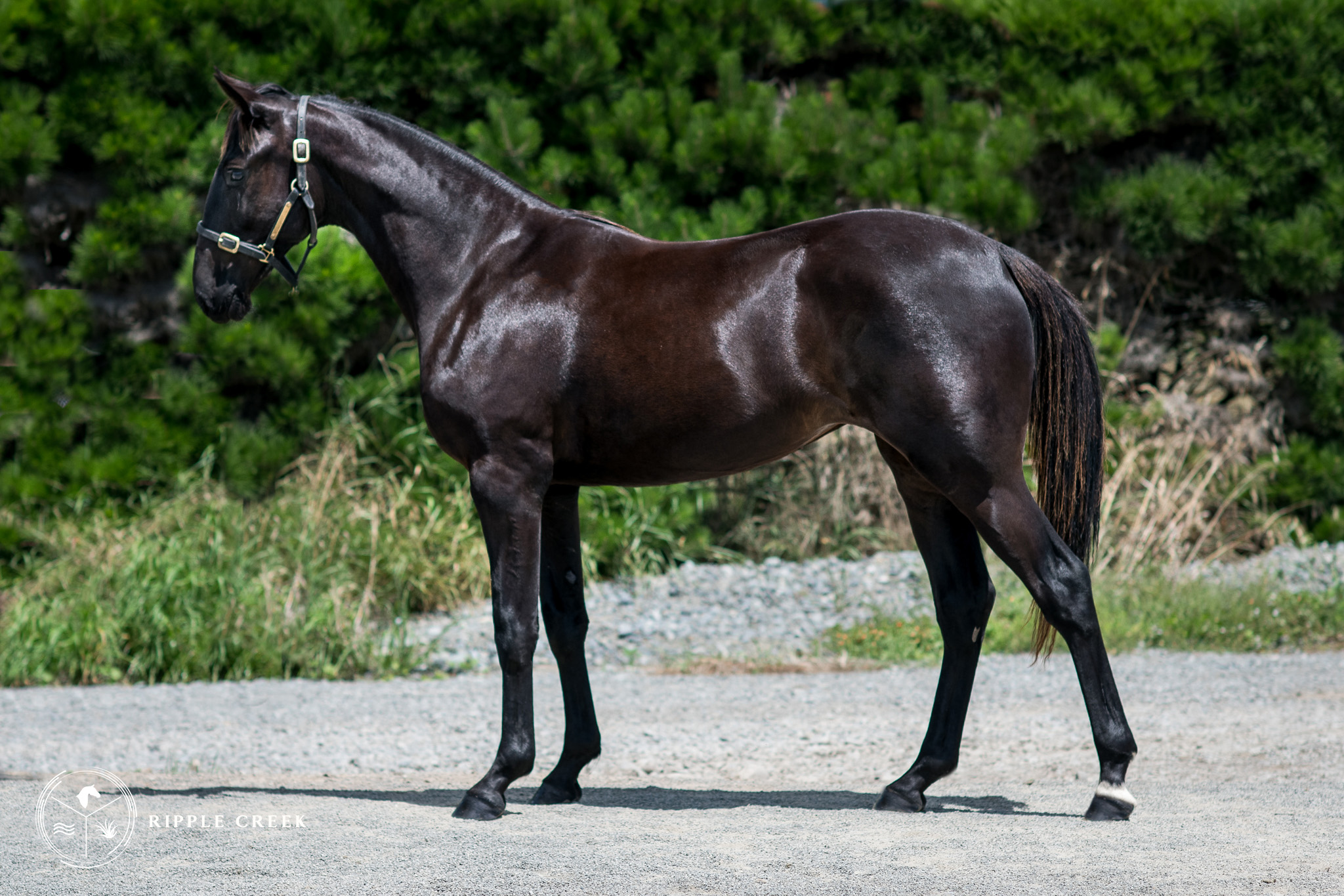 335: Navagio - Brown Filly - Bettor'