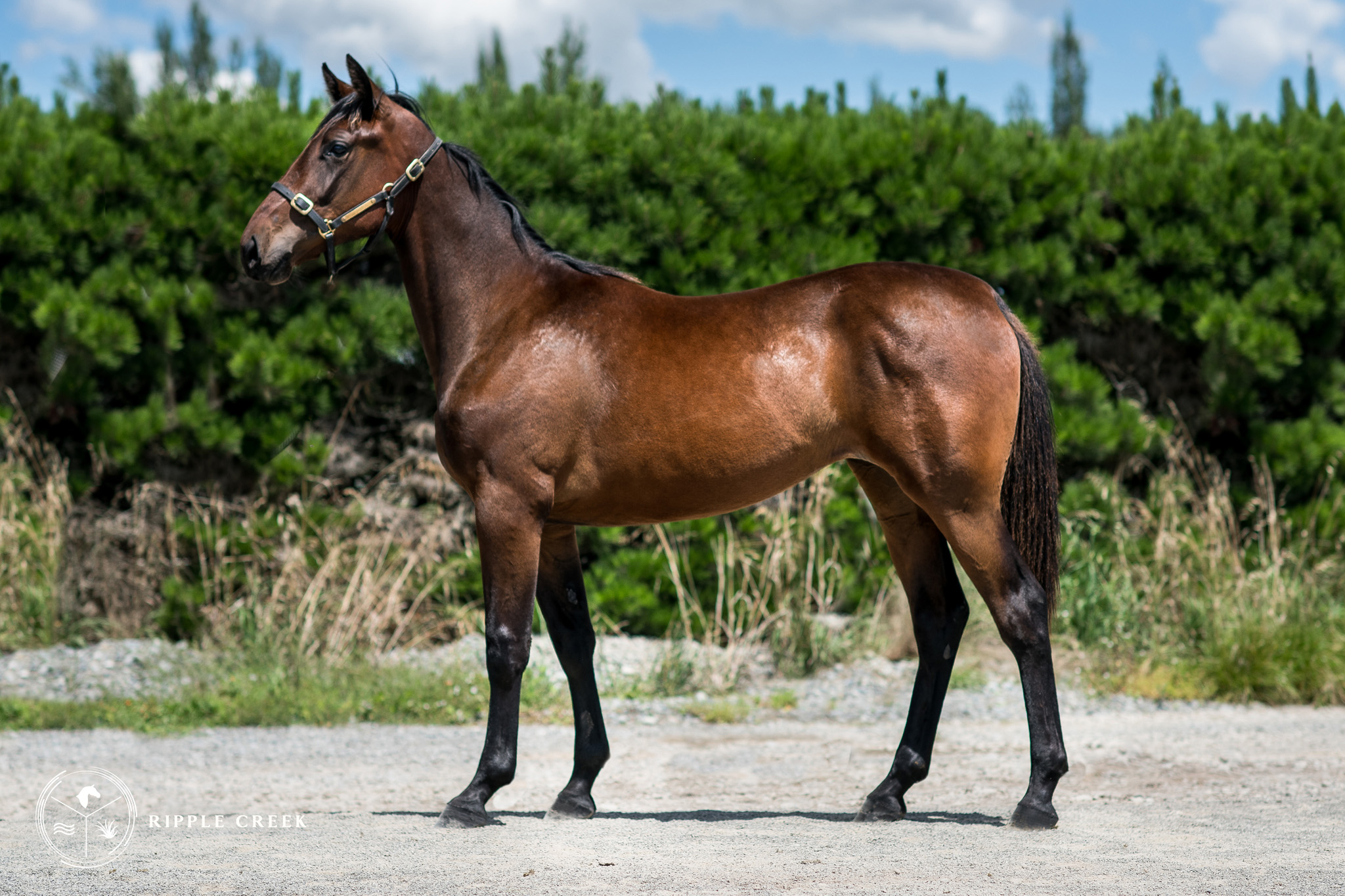 191: Musical Trix - Bay Filly - Trix