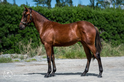 429: Shari Lewis - Bay Filly - Shado