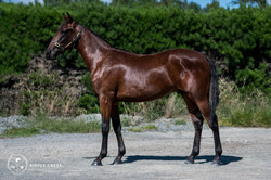 396: Leo Major - Bay Colt - Art Majo