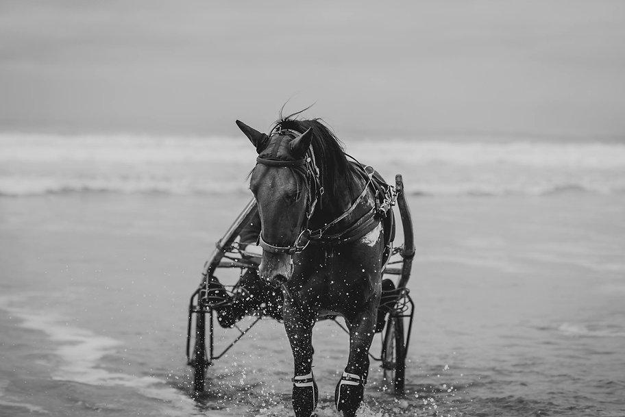 Harness Racing, Standardbred, Horses, Stallions, Horse Racing, Yearling Preparation, Standardbred, Horse Training, Trent Yesberg, Sarah Clements
