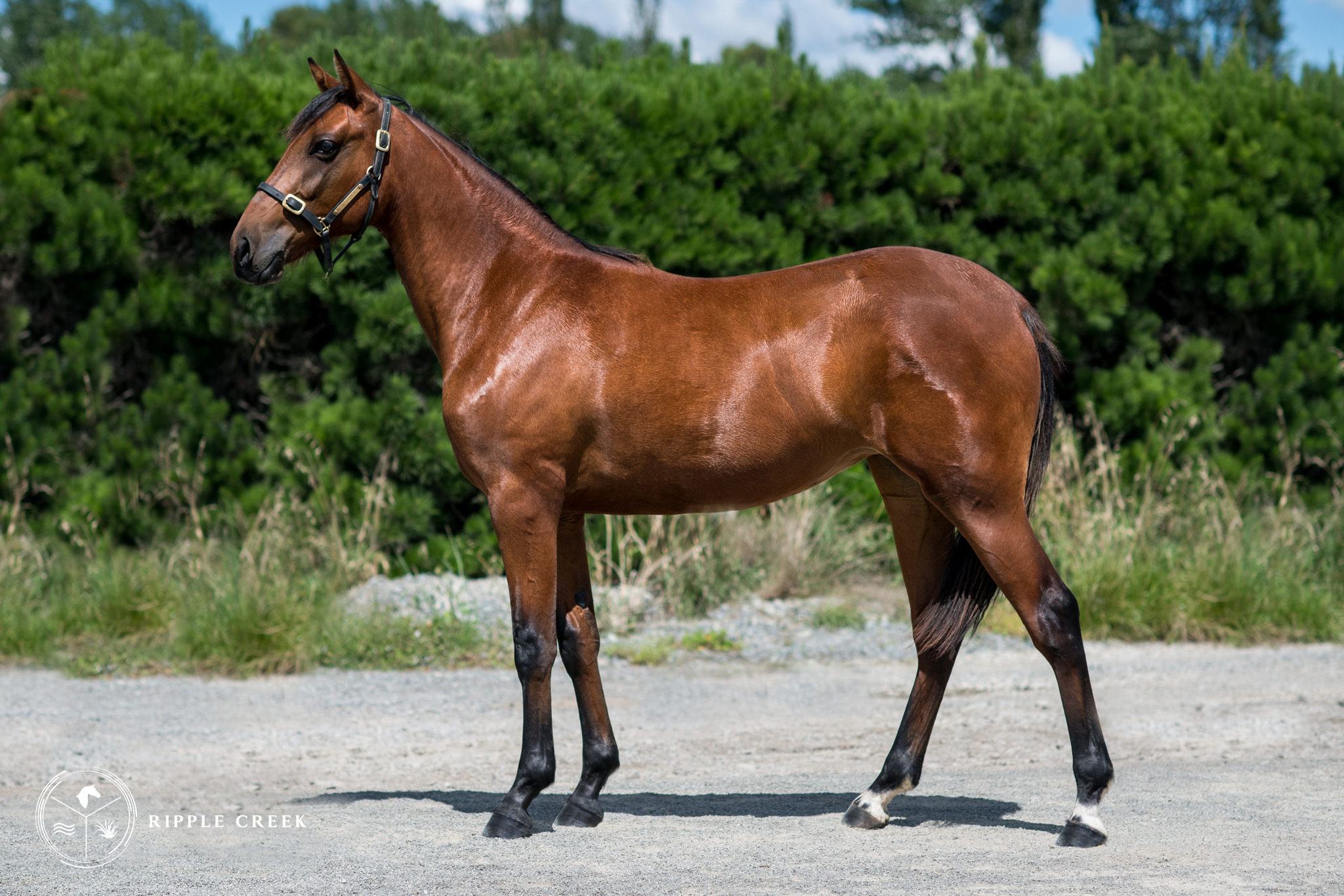 440: Sturtevant - Bay Filly - Art Ma