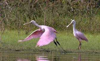 ibis roses