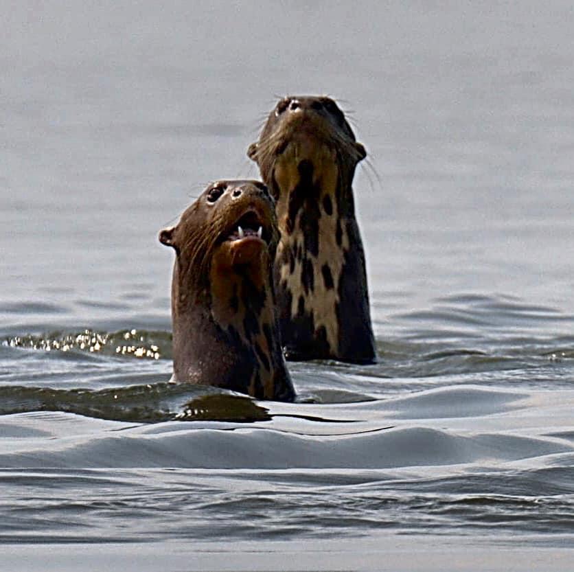 loutres géantes d'amazonie