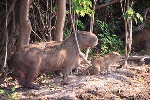 capibarai