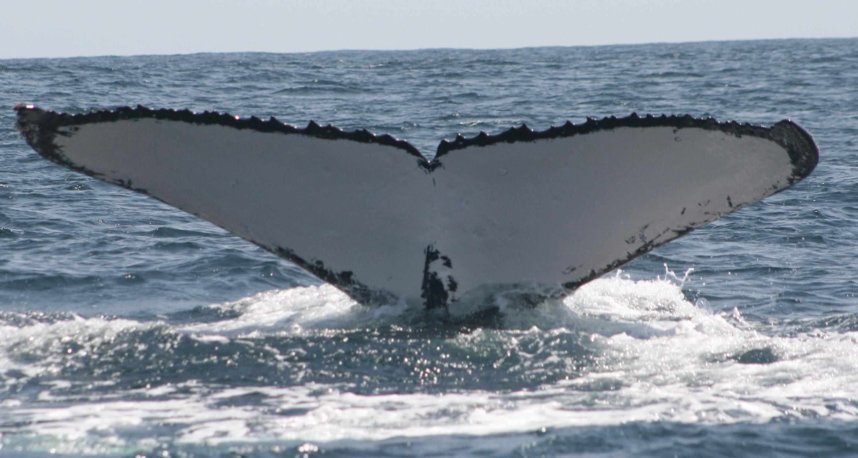 Baleine (5)