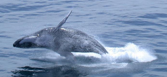 Baleine (6)