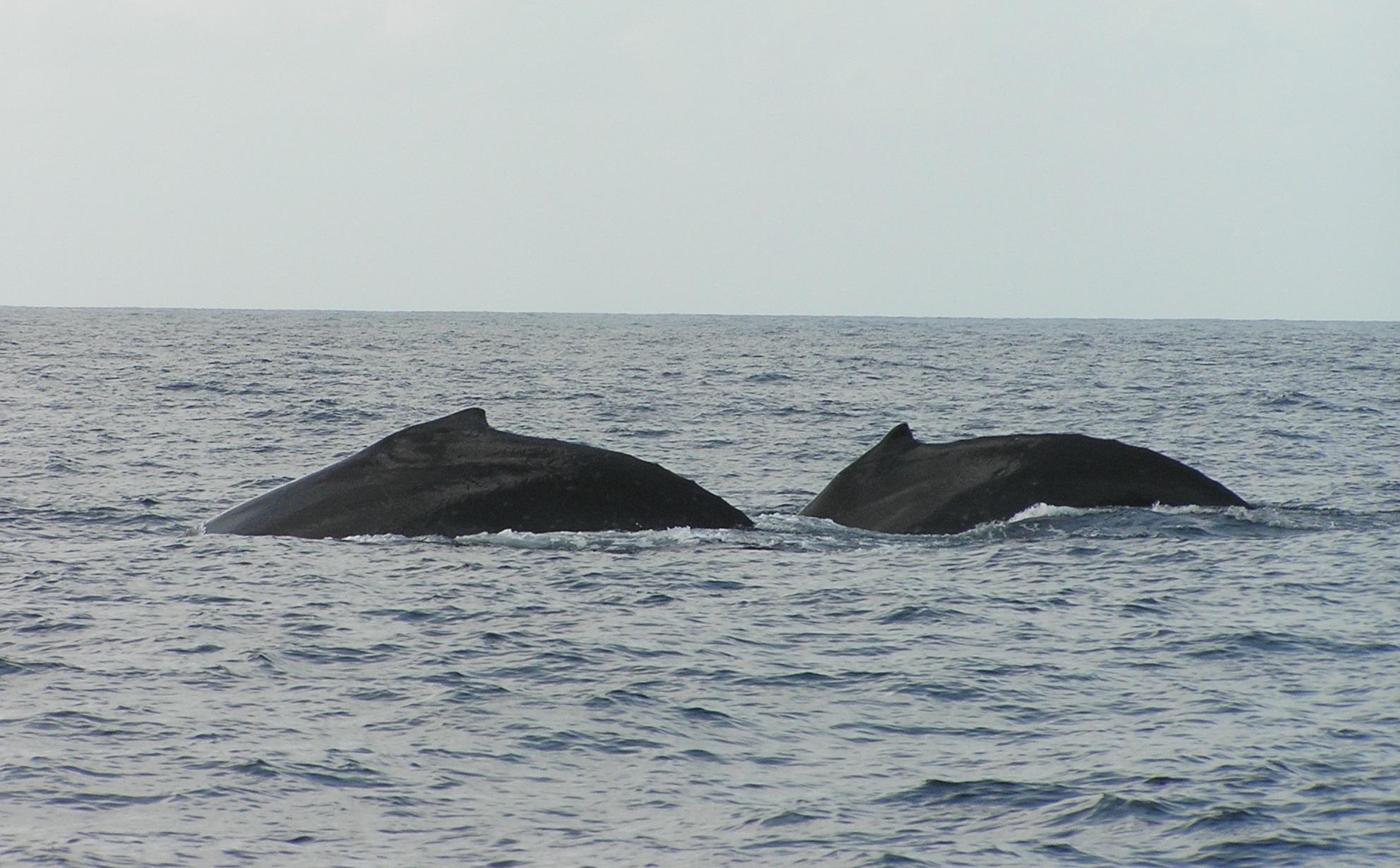 Baleine (1)
