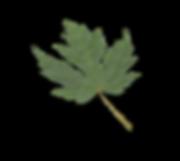 Maple Leaf.D16.2k-80.png