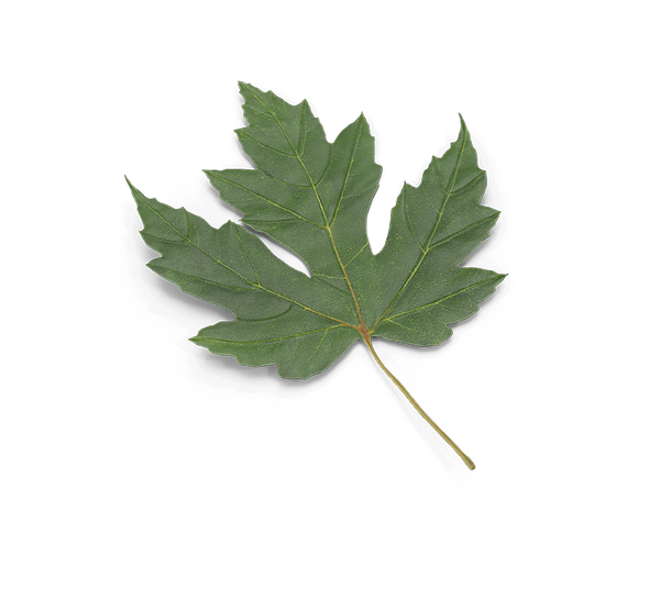 Maple Leaf.D16.2k-80.png
