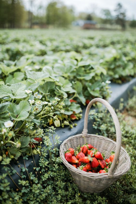fruit and vegetable patch - strawberries
